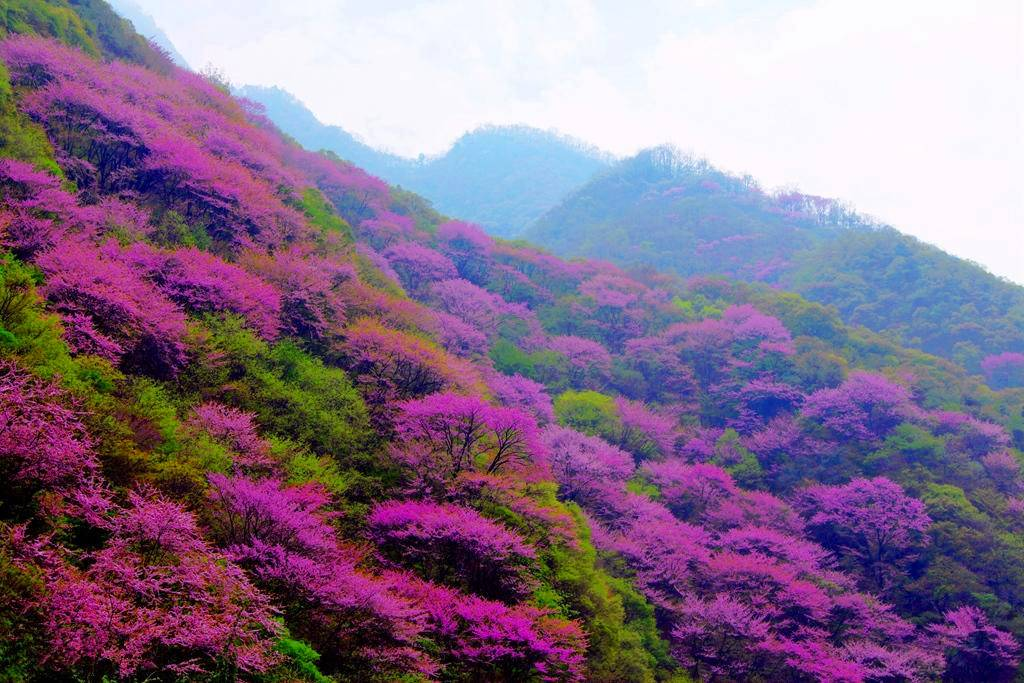 太平森林公园看浪漫紫荆花