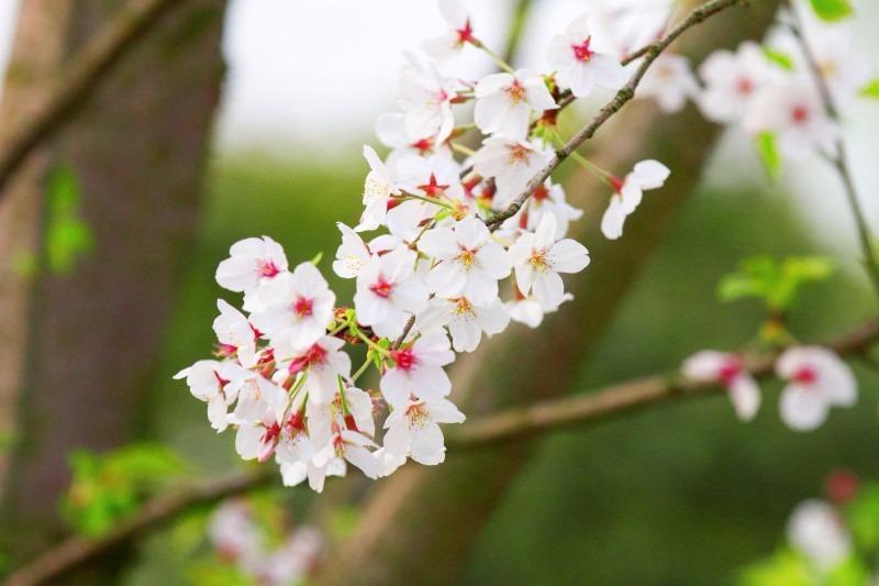318樱为您-爱在樱花浪漫时+万人徒步户外一日游