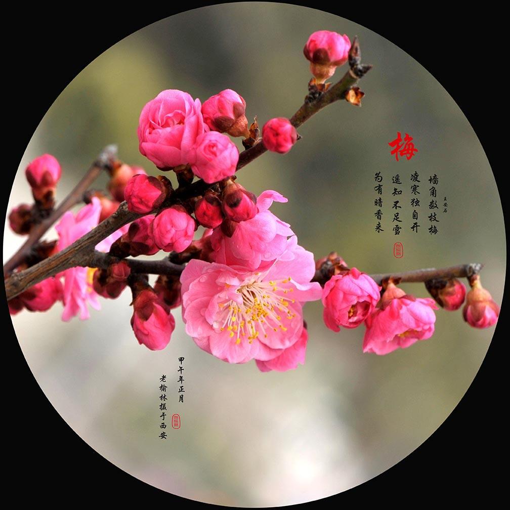 有梅花节的中国人_23/24日|长城梅花节|赏盛世梅花,徒步古长城