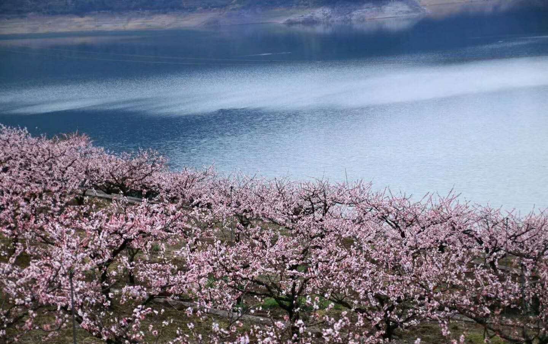 桃花恰是春天最美的风景 油菜花黄 踏春赏花好时节正当时 新昌十大