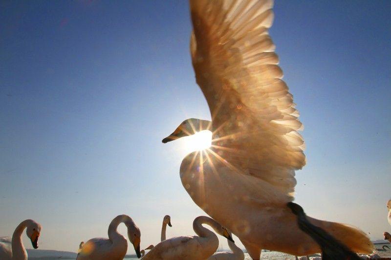 去三门峡摄影采风大天鹅
