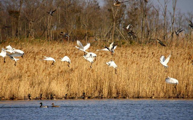 白鹤,白头鹤,大鸨,天鹅,白枕鹤,灰鹤,鸳鸯 推荐理由: 鄱阳湖是国际