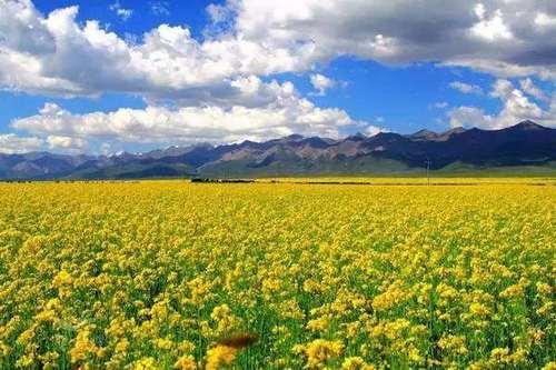 春暖花开之际,2017全国各地油菜花开放时间表新鲜出炉!